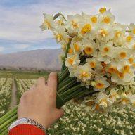 پیاز گل نرگس شیراز