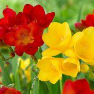 پیاز گل فرزیا قرمز