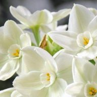 پیاز گل نرگس عروس