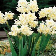 پیاز گل نرگس هلندی سفید