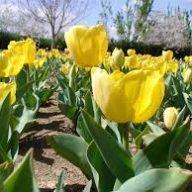 پیاز گل لاله هلندی زرد