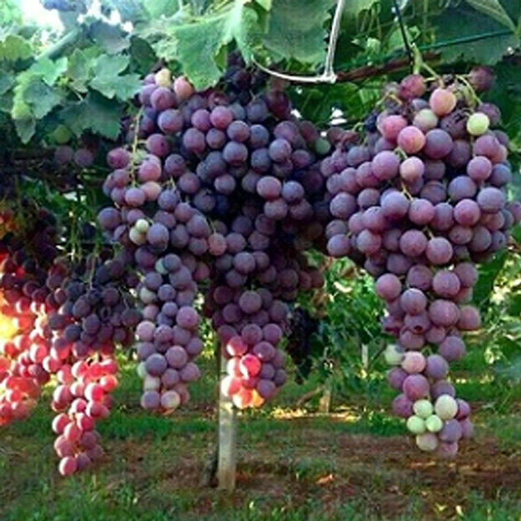 کود مناسب درخت انگور